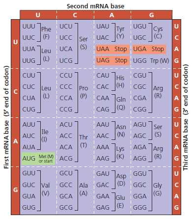 Translate The Mrna Complementary Copy Of T Clutch Prep
