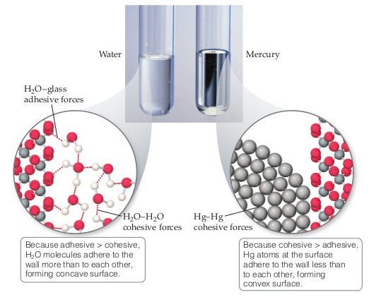 A photograph shows two test tubes side by side. One holds water and the other holds mercury. The meniscus or surface of the water is concave, forming a cup shape, while the meniscus of the mercury is convex, meaning it bulges upward. Molecular view diagrams show that in the water test tube, water molecules form hydrogen bonds both with the test tube glass walls (adhesive forces) and with each other (cohesive forces). Because adhesive is greater than cohesive, H2O molecules adhere to the wall more than to each other, forming a concave surface. In the mercury test tube, mercury molecules form mercury–mercury cohesive forces. Because cohesive is greater than adhesive, mercury atoms at the surface adhere to the wall less than to each other, forming a convex surface.